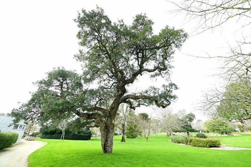 Un chêne-liège centenaire au jardin des plantes.