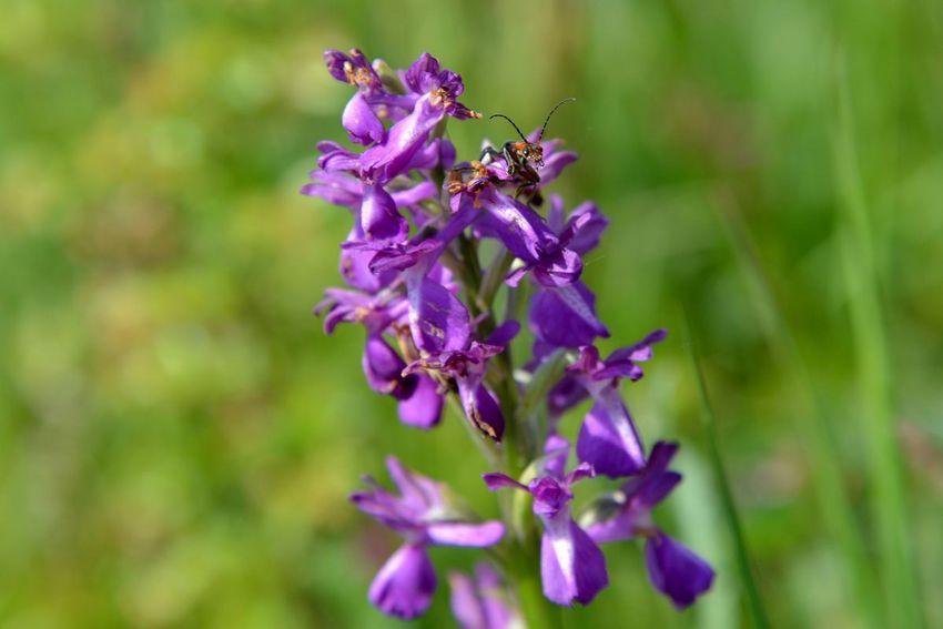 Orchis bouffon, orchidée présente dans les prairies (©Ville de Saint-Nazaire - Christian Robert)